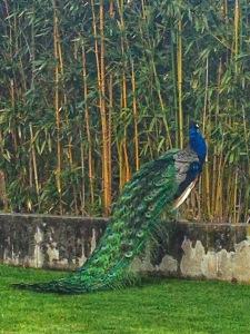 Famous UN Peacocks