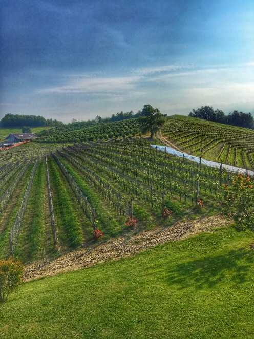 Piedmont Vineyard 5