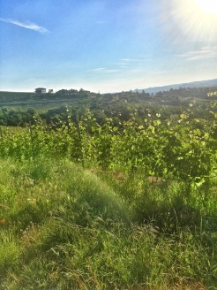 Piedmont Vineyard 2