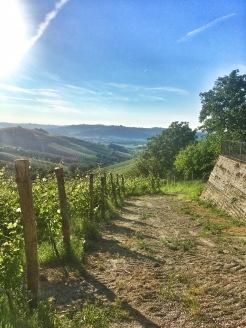 Piedmont Vineyard 4